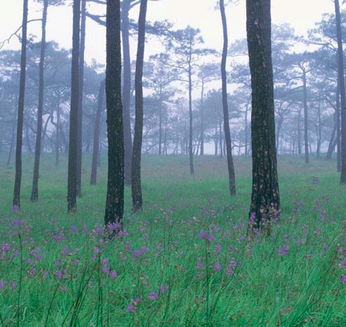 ป่าสนภูสอยดาว จ