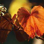'ใบไม้สีทอง' ที่น้ำตกบาโจ